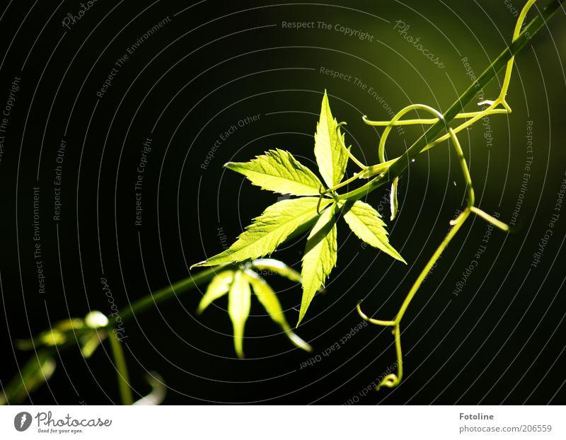 dunkel und hell Umwelt Natur Pflanze Sommer Schönes Wetter Wärme Blatt grün Wilder Wein Ranke leuchten Farbfoto mehrfarbig Außenaufnahme Textfreiraum links