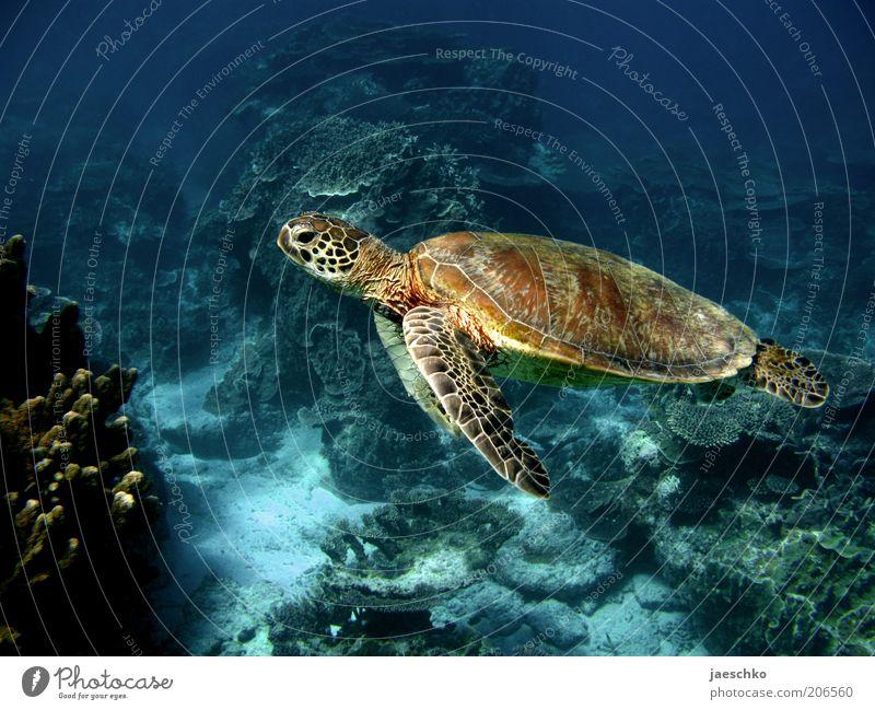 Behäbigkeit Natur Tier Korallenriff Meer Schildkröte 1 ästhetisch elegant exotisch frei groß friedlich Gelassenheit ruhig Zufriedenheit Leichtigkeit rein