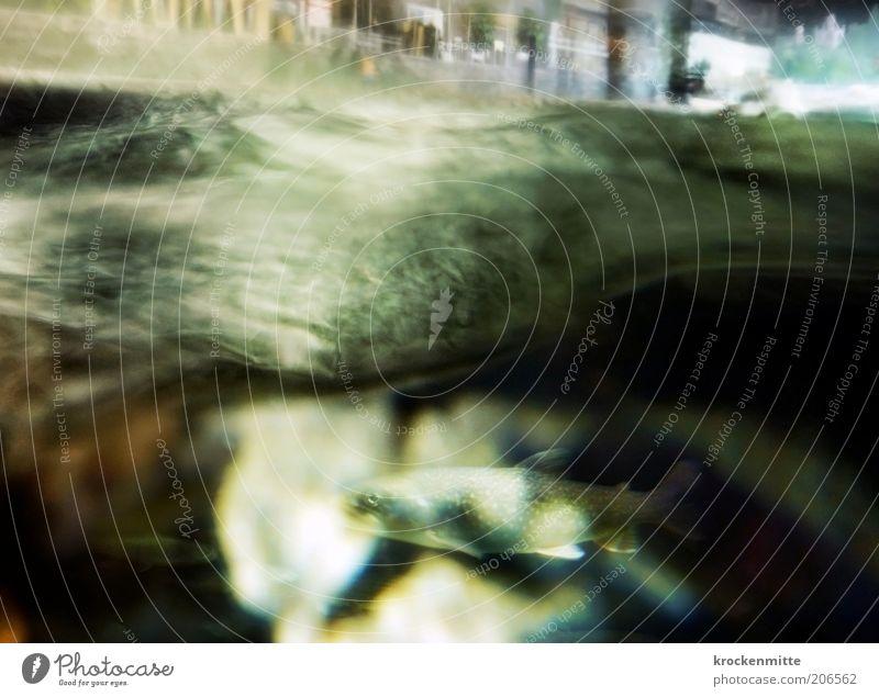 Nachtschwumm Fisch tauchen See Hafenstadt Haus Tier Fischauge 1 grün schwarz Flosse Wellen Wasser Meeresspiegel Wasserspiegel feucht nass Unterwasseraufnahme