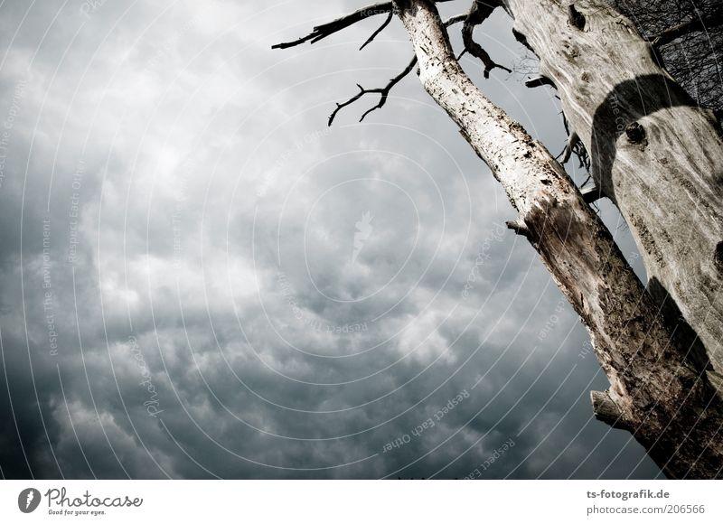 Entblätterungskünstler Umwelt Natur Pflanze Himmel Wolken Gewitterwolken Baum Wolkendecke kahl Holz Baumstamm alt bedrohlich dunkel natürlich braun grau bizarr