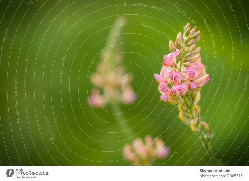 Saat-Esparsette (Onobrychis viciifolia) Umwelt Natur Landschaft Pflanze Sommer Klima Klimawandel Wetter Blume Nutzpflanze Wildpflanze Garten Park Wiese Feld