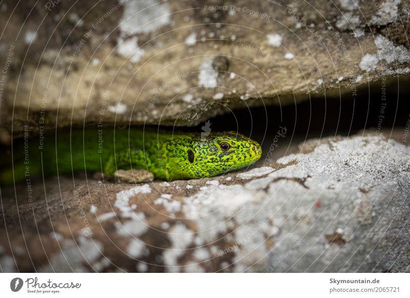 Eidechse zwischen Mauersteinen Natur Pflanze Sommer grün weiß Landschaft Tier Wald Berge u. Gebirge schwarz Umwelt gelb Wiese Garten grau braun