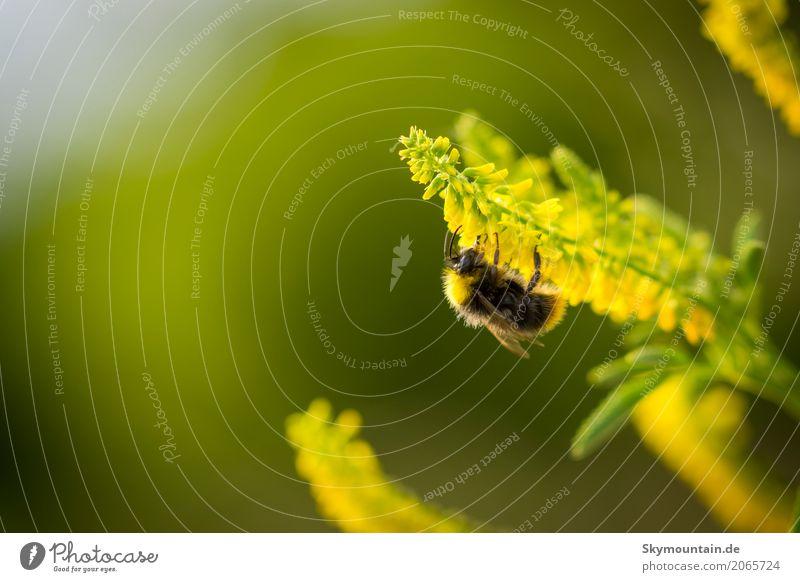 Hummel auf Steinklee Natur Pflanze blau grün Sonne Blume Tier schwarz Umwelt gelb Wiese Garten Park Wetter Feld Schönes Wetter