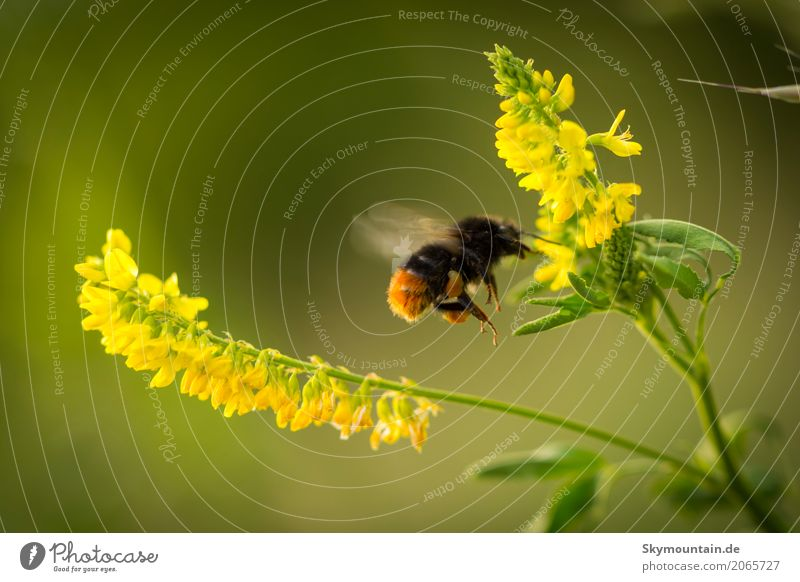 Hummel an Gelben Steinklee Natur Pflanze grün Blume Tier Umwelt gelb Wiese Bewegung Garten braun fliegen orange Park Wetter Feld
