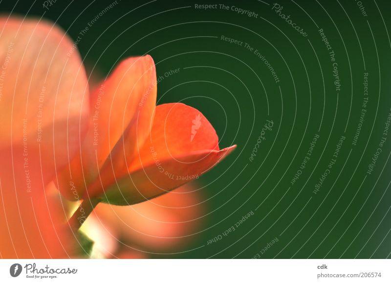 aufblühen Umwelt Natur Pflanze Blüte Topfpflanze ästhetisch schön apricot grün Blütenblatt zart sanft klein Wachstum Blühend Farbfoto Außenaufnahme Nahaufnahme