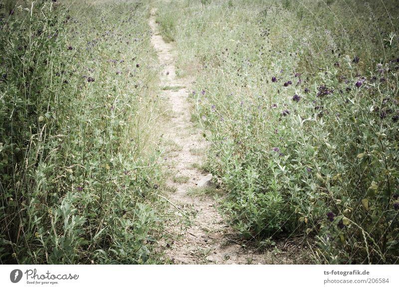 Getrampelter Pfad Natur Landschaft Pflanze Erde Sand Dürre Gras Sträucher Blüte Grünpflanze Wildpflanze Unkraut Distel Wiese Wege & Pfade Fußweg natürlich