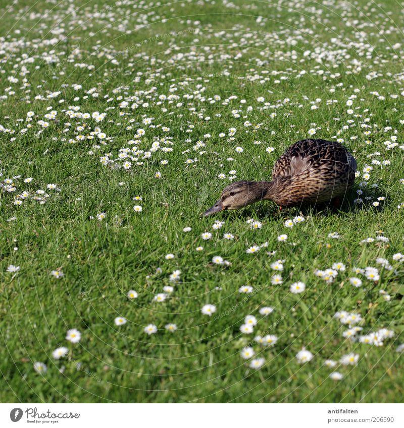 Wo ist das kühle Nass? Natur Pflanze Tier Gras Gänseblümchen Garten Wiese Vogel Flügel Ente Entenvögel 1 braun grün weiß Blumenwiese Schnabel Feder Rasen Sommer