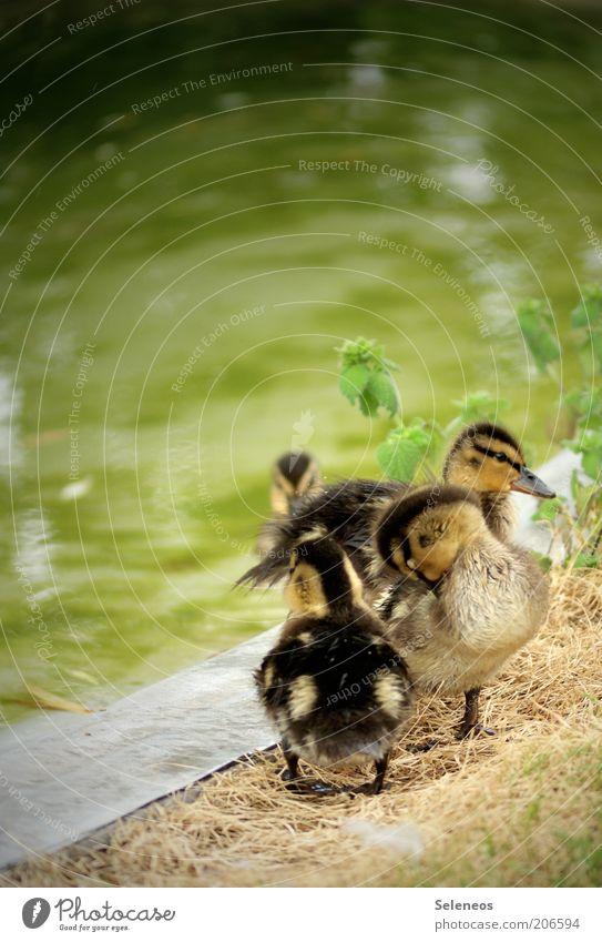 EnteEnteEnteEnte Natur Wasser Sommer Tier Umwelt Frühling klein Tierjunges Tiergruppe niedlich Reinigen Fell Flussufer kuschlig Nachkommen