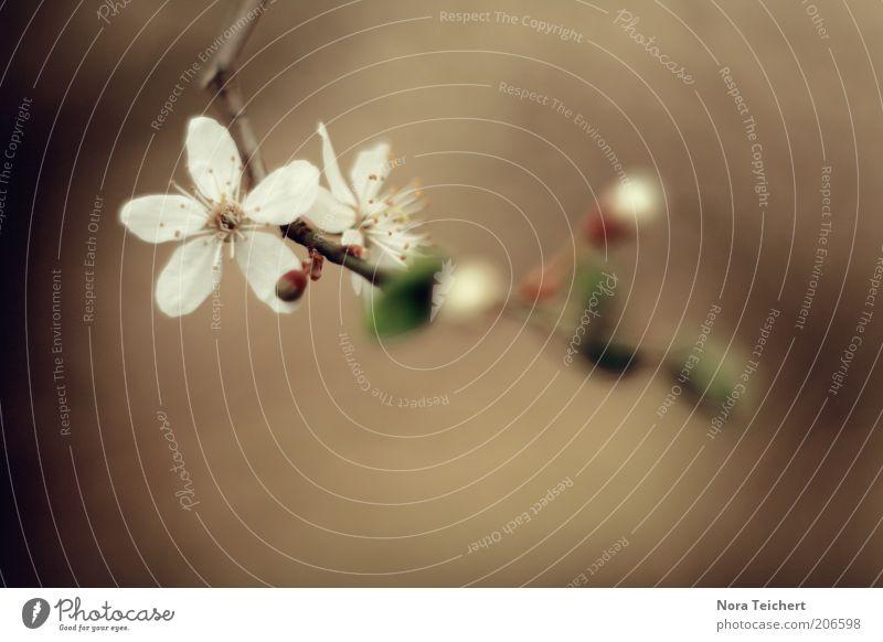wie aus dem dem Nichts Umwelt Natur Pflanze Frühling Sommer Klima Baum Blume Blüte Blühend Wachstum ästhetisch schön neu braun weiß Farbfoto Gedeckte Farben