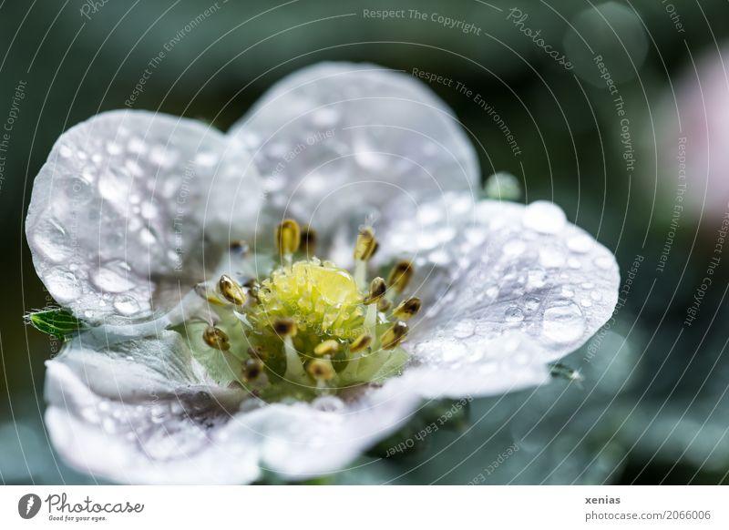 Erdbeerblüte nach dem Regen grün weiß gelb Blüte Frühling Garten Frucht Feld Wassertropfen nass süß Tropfen Erdbeeren