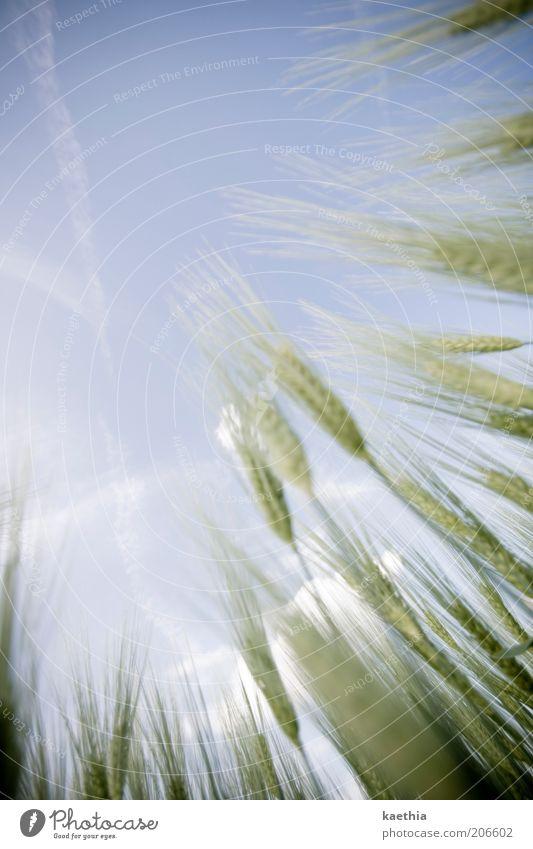 fahrt nach oben Getreide Ernährung Bioprodukte Vegetarische Ernährung Leben Sommer Natur Feld Grundbesitz ländlich Weizen Himmel Wolken Pflanze Wachstum Gras