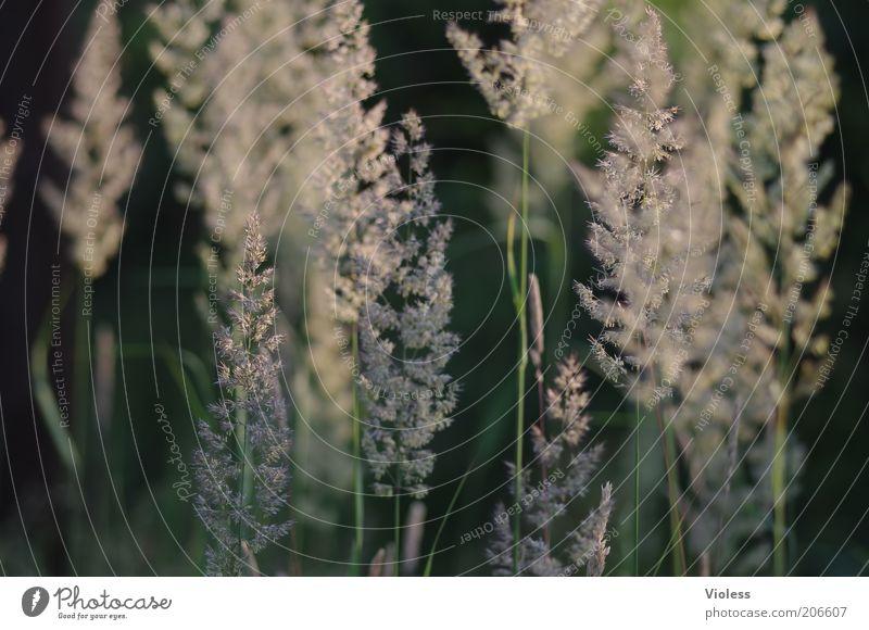 Morgenstimmung Natur Pflanze Sommer Gras Samen Pollen Gräserblüte