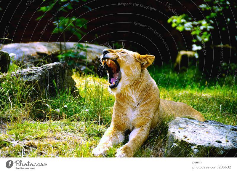 hear me scream! Natur grün Tier schwarz gelb Kraft gold Wildtier wild außergewöhnlich liegen natürlich groß ästhetisch bedrohlich Symbole & Metaphern