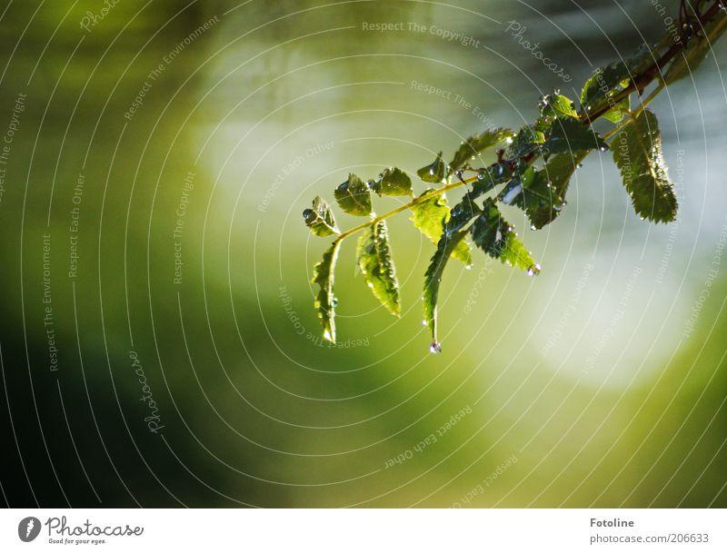 tropf, tropf Umwelt Natur Pflanze Urelemente Wasser Wassertropfen Sommer Regen Blatt nass natürlich grün Zweig tropfend Farbfoto mehrfarbig Außenaufnahme
