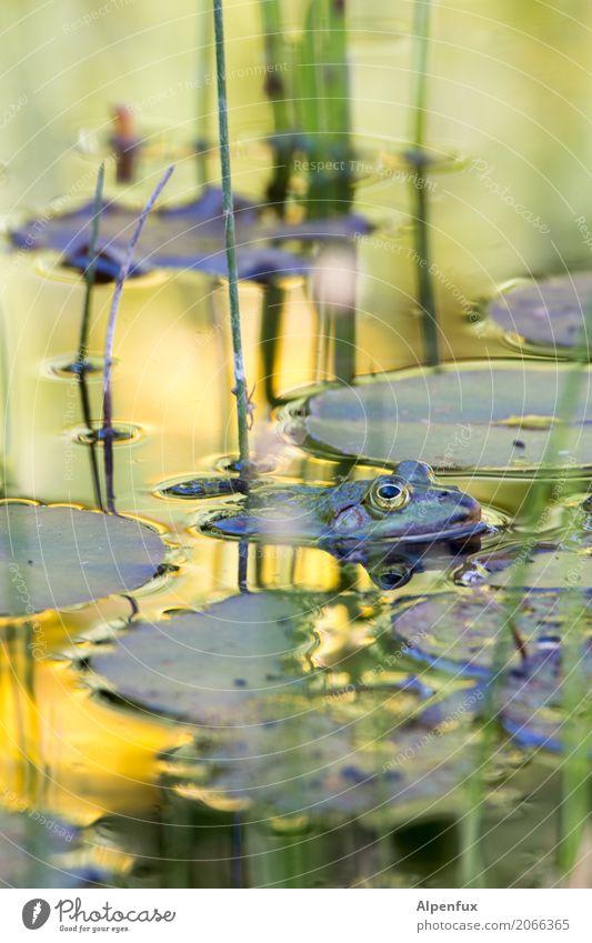 Frosch Umwelt Natur Landschaft Pflanze Seerosen Seerosenteich Seerosenblatt Moor Sumpf Teich Wildtier 1 Tier Schwimmen & Baden Erholung tauchen Coolness