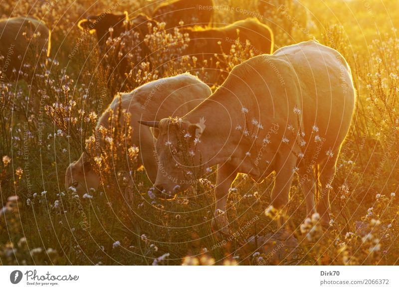Familienfoto Viehhaltung Viehweide Rinderhaltung Sonnenaufgang Sonnenuntergang Sonnenlicht Schönes Wetter Wärme Blume Gras Wiese Weide Blumenwiese Syrakus
