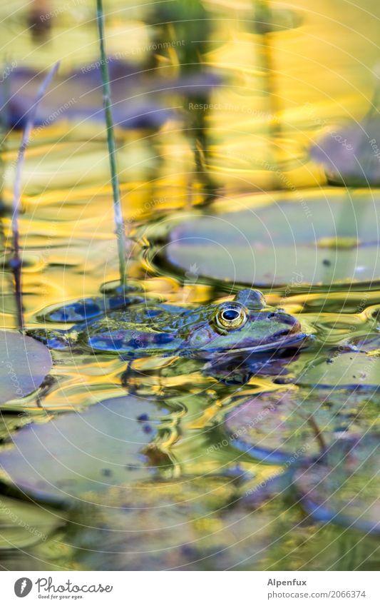 Froschkönig Wasser Schönes Wetter Wildpflanze Seerosenblatt Seerosenteich Garten Park Moor Sumpf Teich Bach Tier Wildtier 1 Blick Schwimmen & Baden wild