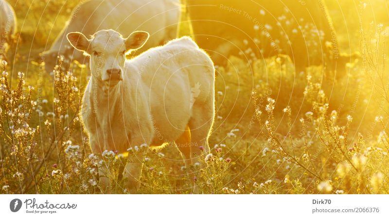 Sizilianisches Kalb Natur Sonne Blume Tier Tierjunges Wärme Umwelt Frühling Wiese Gras Idylle Schönes Wetter Tiergruppe Italien Landwirtschaft Weide