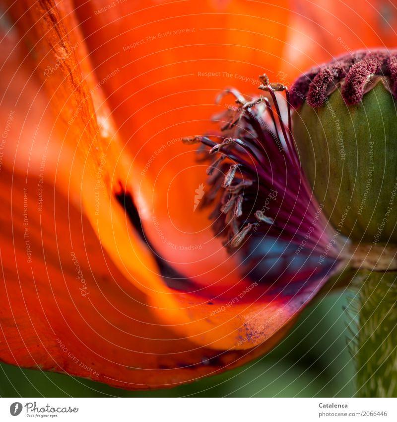 Halbmohn Natur Pflanze Sommer Blume Blüte Mohnblüte Pollen Blühend verblüht dehydrieren ästhetisch grün violett orange schwarz Stimmung Design Vergänglichkeit