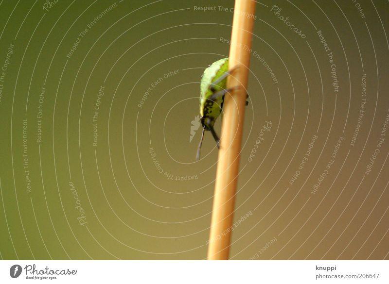 Abwärts Natur grün Pflanze Tier braun klein Umwelt Insekt Stengel abwärts Käfer Laus