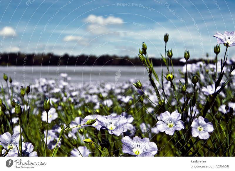 Blütenmeer II Sommer Umwelt Natur Landschaft Pflanze Himmel Wolken Schönes Wetter Blume schön blau grün violett Wiese Blumenwiese Farbfoto mehrfarbig