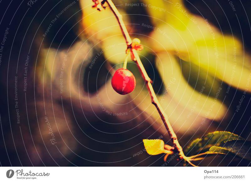 süßes früchtchen Natur Pflanze rot Sommer gelb frisch rund hängen Zweig Kirsche einzeln Nutzpflanze