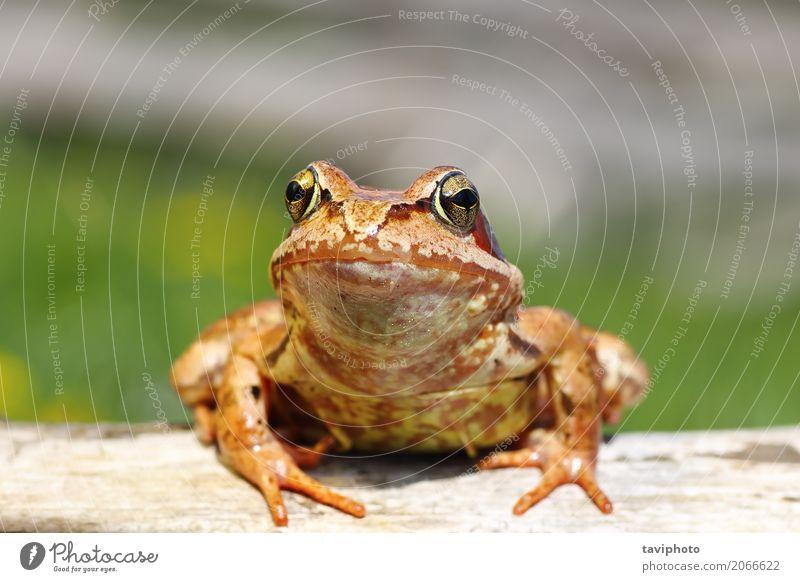 Nahaufnahme von gemeinsamen europäischen Frosch Garten Umwelt Natur Tier Wald Teich beobachten stehen klein lustig nass natürlich schleimig wild braun grün