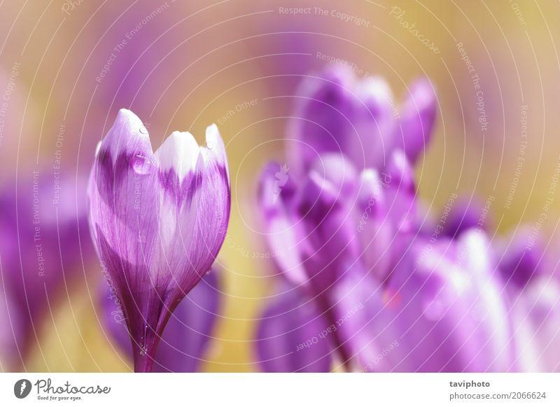 Nahaufnahme von rosa Frühling Krokus Natur Pflanze Farbe schön grün Blume Berge u. Gebirge Blüte Wiese natürlich Gras klein Glück Garten Menschengruppe