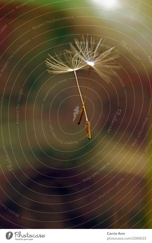 zusammen fliegende Pusteblumensamen Natur Pflanze Luft Blume Blüte Löwenzahn Farbfoto Außenaufnahme Makroaufnahme Morgen Samen weiß Nahaufnahme Frühling Tag