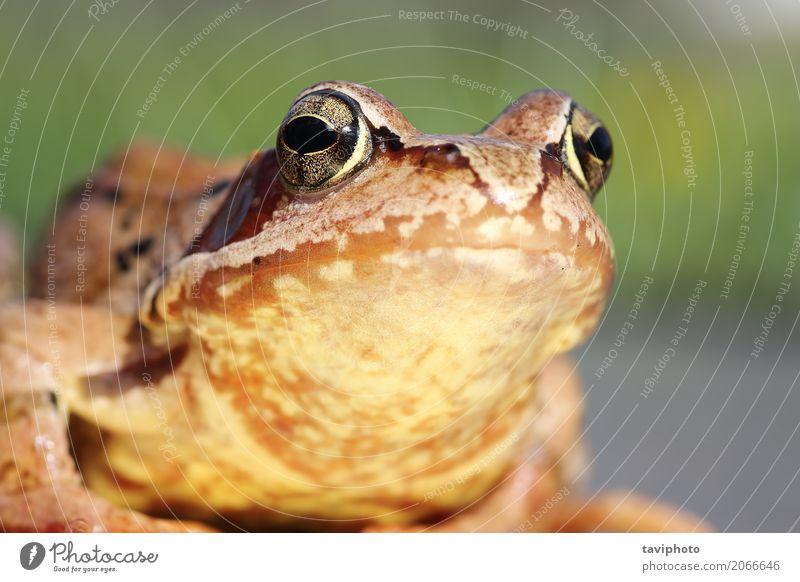 Makroporträt des gemeinen Frosches schön Auge Umwelt Natur Tier Wald beobachten klein lustig nass natürlich schleimig wild braun grün Farbe Amphibie Rana