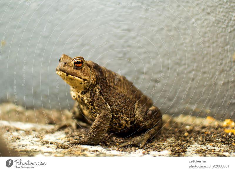 Erdkröte Frosch Kröte Lurch Molch Reptil Menschenleer Textfreiraum Natur Sommer Tier Amphibie sitzen warten Wand Ecke Nische Schlechte Laune Umweltschutz