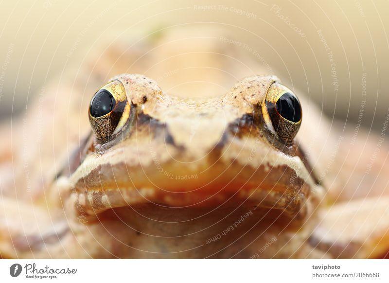 Rana-Dalmatinaporträt Natur Farbe Tier Gesicht natürlich klein braun wild Europa Fotografie niedlich Lebewesen Europäer Schuss interessant Unke