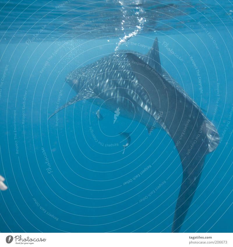 2 FINGERS vs. BUBBLE MASHINE Natur Wasser Meer Freiheit groß frei Fisch tauchen Mensch Blase Luftblase Malediven Haifisch beeindruckend Flosse