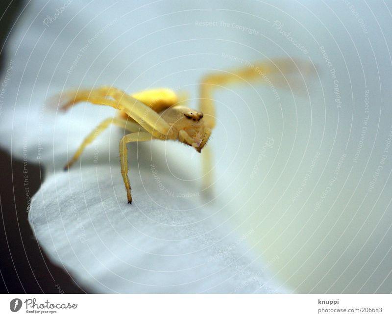 Misumena vatia (Veränderliche Krabbenspinne) Natur weiß Pflanze Sommer Tier gelb Umwelt Blüte gold warten beobachten Tiergesicht Insekt entdecken Ekel Spinne