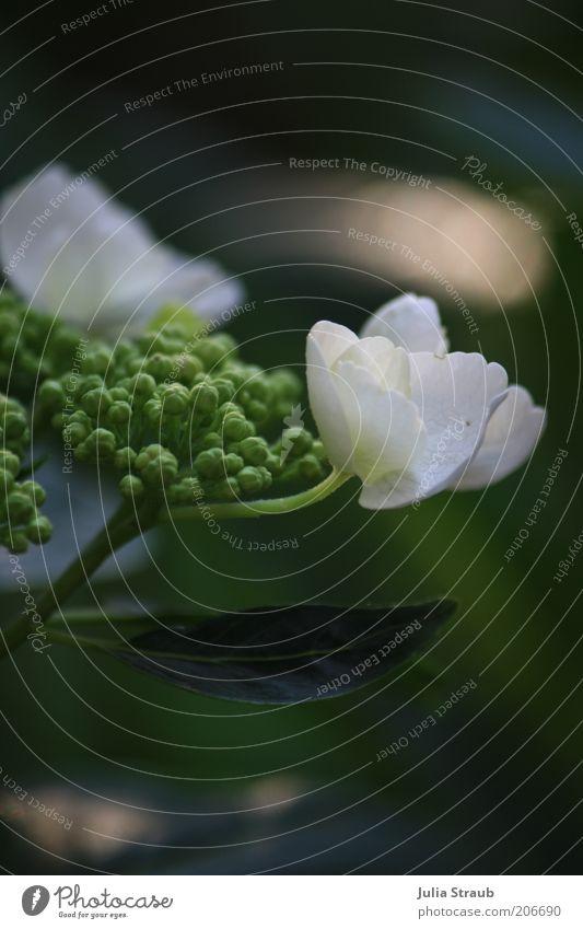 ein traum Natur weiß Blume grün Pflanze Sommer Blatt Blüte Sträucher weich Blühend Blütenblatt Grünpflanze Hortensie Hortensienblüte Hortensienblätter