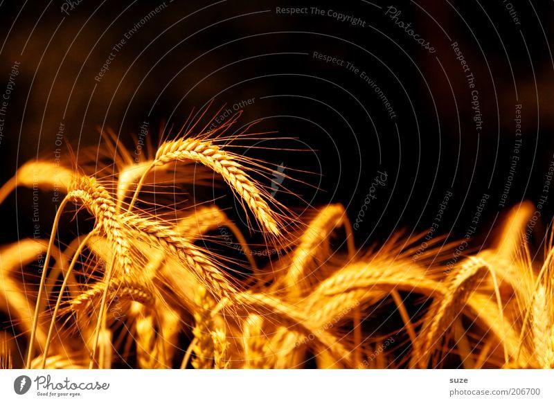 Ährentitel Lebensmittel Getreide Bioprodukte Sommer Umwelt Natur Landschaft Pflanze Nutzpflanze leuchten Wachstum natürlich gelb gold Granne Ernte Gerste Weizen