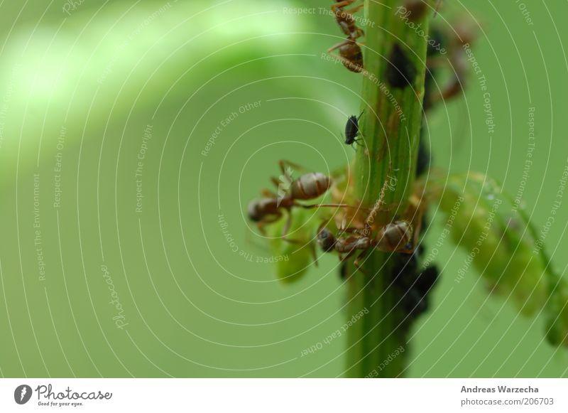 Molkereibetrieb Umwelt Natur Pflanze Tier Sommer Grünpflanze Wildtier Ameise Blattläuse Insekt 4 Tiergruppe Bewegung Fressen authentisch einfach frei grün
