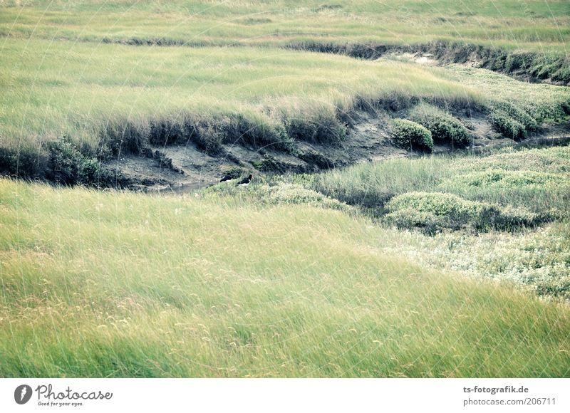 Austernfischer-Suchbild Natur grün Pflanze Wiese Gras Landschaft Küste Umwelt ästhetisch Sträucher Nordsee Grasland saftig Wattenmeer Nationalpark Grünpflanze