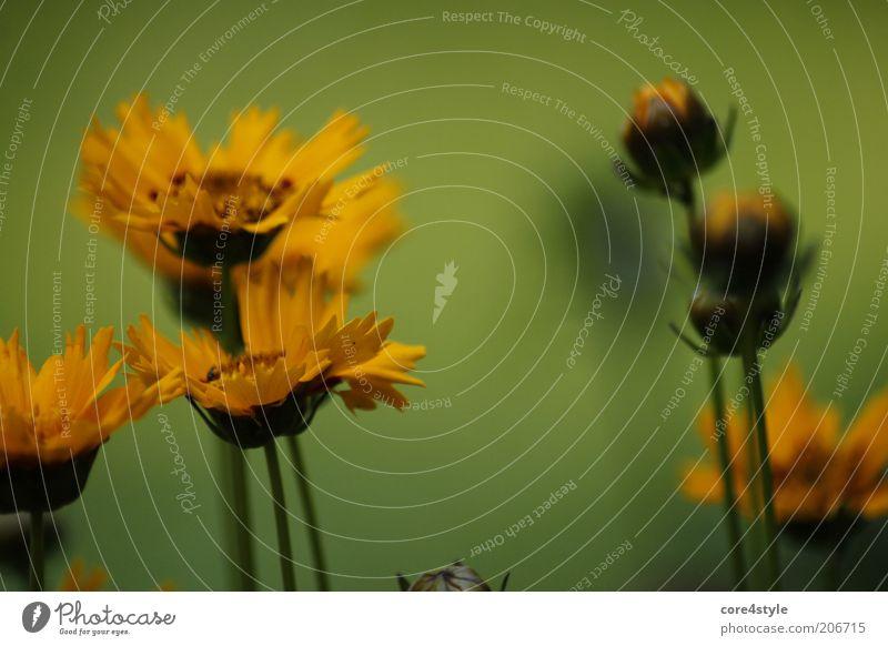 Coreopsis Grandiflora Natur schön Blume grün Pflanze gelb Blüte Stimmung Umwelt gold Blühend Mädchenauge
