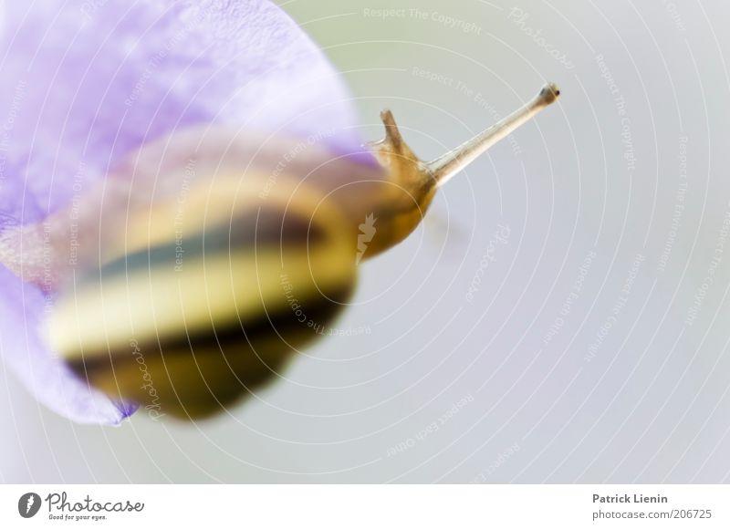 Ich falle gleich! Umwelt Natur Pflanze Tier Sommer Schnecke 1 Blüte Schneckenhaus Schleim Fressen feucht Bänderschnecke Farbfoto Makroaufnahme Tag Unschärfe