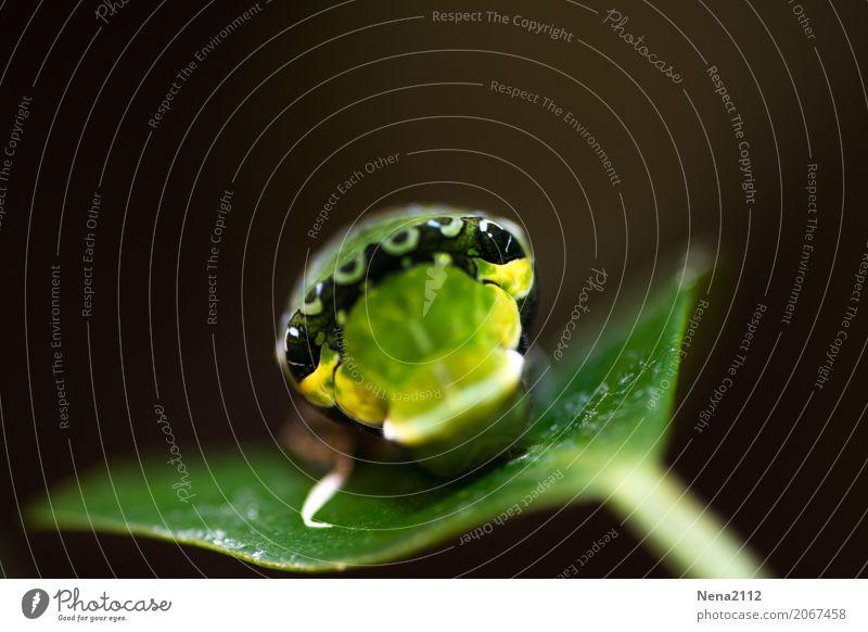 Blick der Raupe... Umwelt Natur Tier Frühling Sommer Pflanze Blatt Schmetterling Tiergesicht 1 grün Traurigkeit Einsamkeit Auge Farbfoto Nahaufnahme