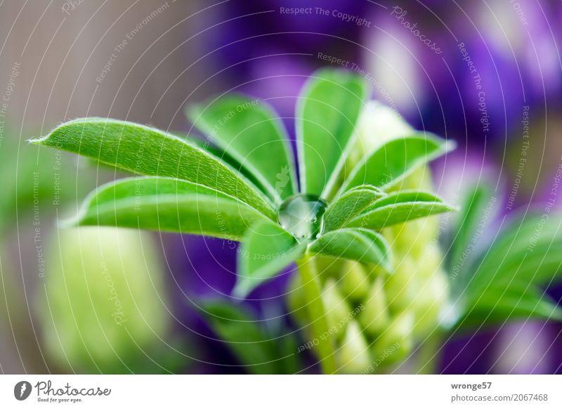 Tropfenfänger Pflanze Sommer Blume Blatt Lupine Lupinenblatt ästhetisch natürlich blau braun mehrfarbig grün violett Wassertropfen Nahaufnahme Blüte