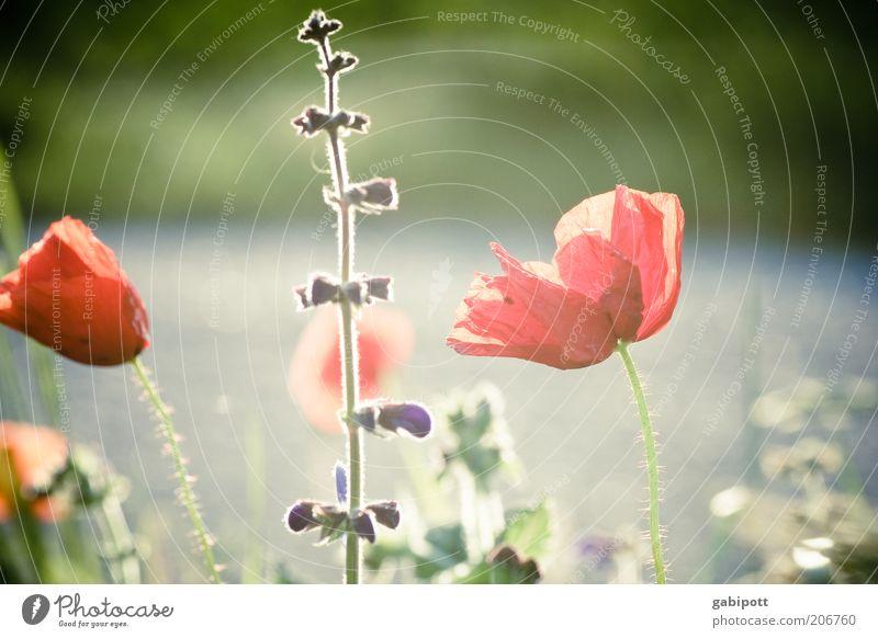 Traditionen Umwelt Natur Pflanze Sommer Schönes Wetter Blüte Wildpflanze Mohn Mohnblüte Mohnblatt Wiesenblume Blühend wild Gedeckte Farben Außenaufnahme