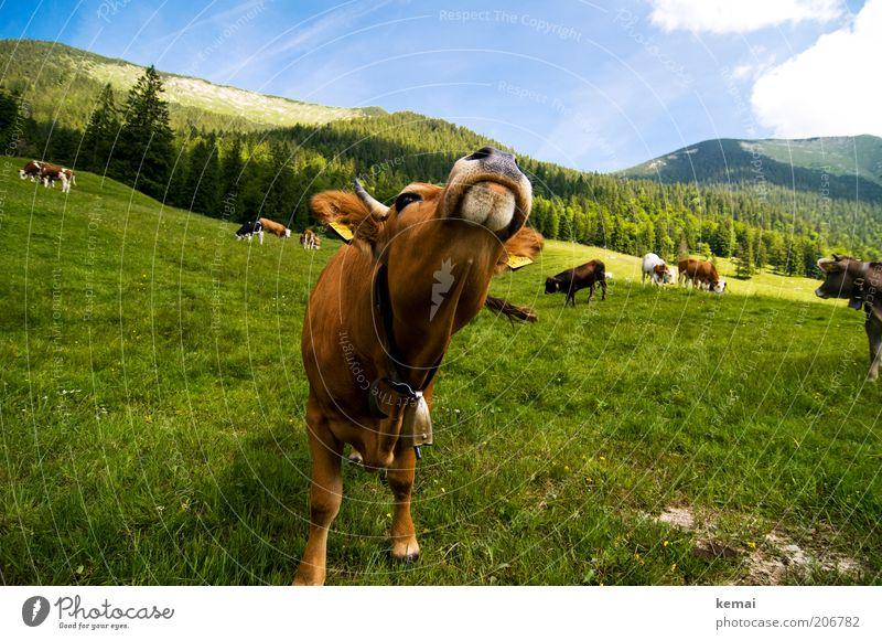 Kuh-Posing Umwelt Natur Landschaft Tier Himmel Wolken Sommer Klima Schönes Wetter Gras Hügel Alpen Berge u. Gebirge Bayrische Voralpen Nutztier Tiergesicht Kopf