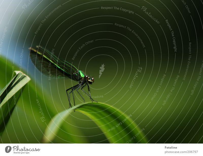 Libelle Umwelt Natur Pflanze Tier Sommer Wildtier Tiergesicht Flügel sitzen hell grün Libellenflügel Insekt Auge Beine Farbfoto mehrfarbig Außenaufnahme