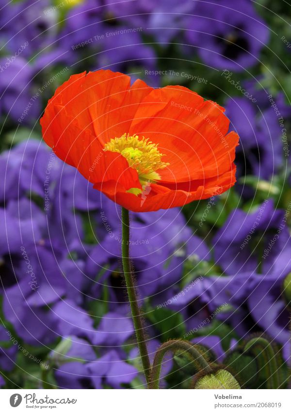 Ziermohn Garten Natur Pflanze Frühling Sommer Blume Blüte Park blau mehrfarbig grün orange rot Mohn Klatschmohn gartenblume Farbfoto Außenaufnahme Nahaufnahme