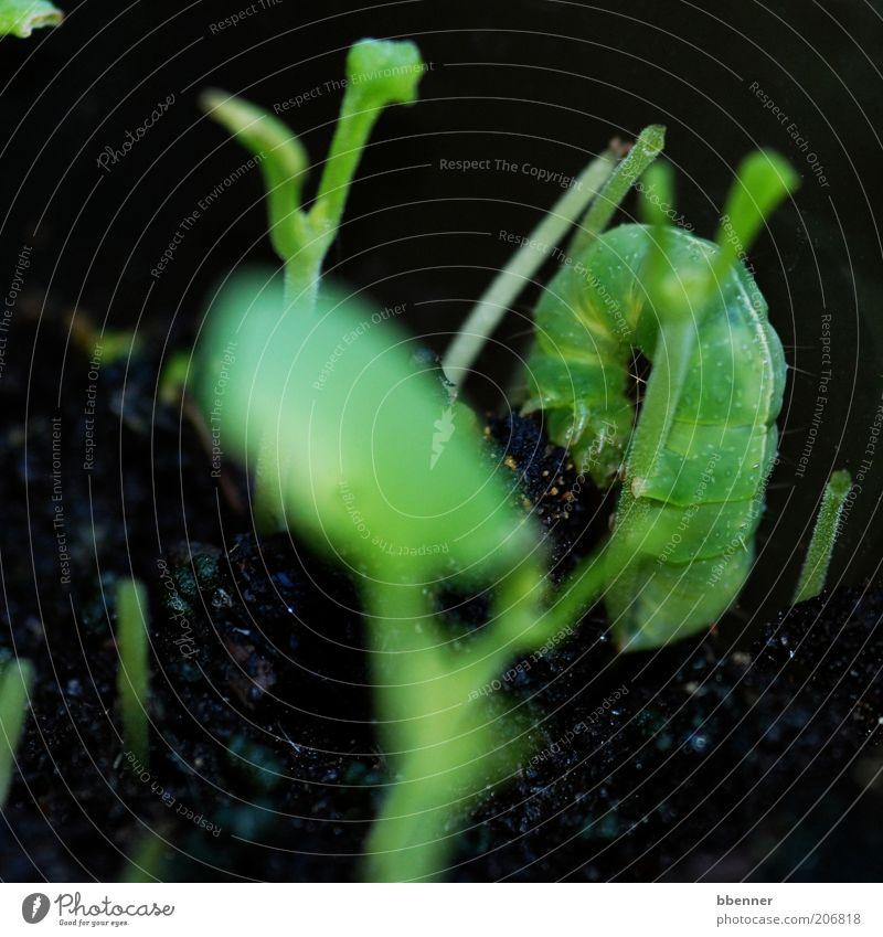 Getarnt! grün schwarz Tier klein Kräuter & Gewürze dick Ekel Fressen Makroaufnahme Raupe Pflanze