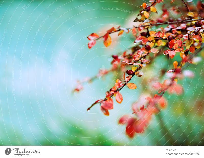 Cotoneaster Natur schön Pflanze Herbst Sträucher Zweig Herbstlaub herbstlich Fruchtstand Herbstbeginn