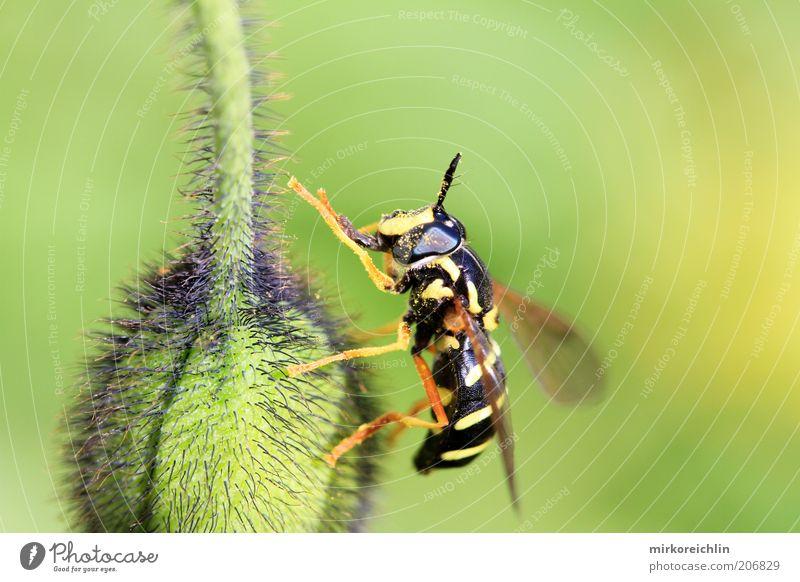 Meins grün Pflanze ruhig schwarz Tier gelb Beine Flügel Streifen Mohn Blütenknospen Wespen Makroaufnahme