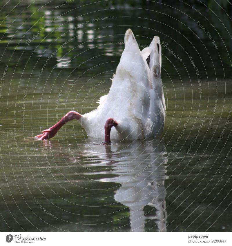 Köpf - chen in das Was - ser... Wasser Teich Tier Schwan 1 tauchen Farbfoto Außenaufnahme Tag Licht Schatten Kontrast Reflexion & Spiegelung